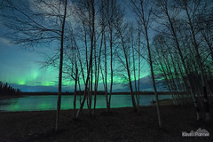Chena Birches Aurora (kevin-palmer) Tags: alaska northpole chenalake northernlights aurora auroraborealis green color colorful night sky stars starry space astronomy astrophotography nikond750 sigma14mmf18 october fall autumn frozen ice icy cold clouds birchtrees