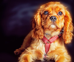 Chanel (Pepenera) Tags: cane cavalier cavalierkingcharlesspaniel dog dogs portrait petsphotography ritratto canon eos