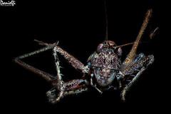 Saltamontes - Grasshoper (danielfi) Tags: macro macrofotografía macrophotography focus stacking insecto insect saltamontes grasshopper