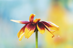 split personality (rockinmonique) Tags: caribooregion blackeyedsusan flower bloom blossom petal red yellow bloew bokeh macro light pretty moniquewphotography canon canont6s tamron tamron45mm copyright2019moniquewphotography