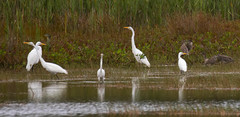 _U7A5014 (rpealit) Tags: scenery wildlife nature edwin b forsythe national refuge brigantine great egrets egret bird