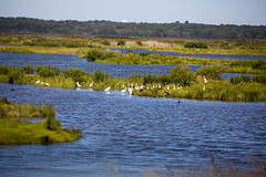 _U7A5265 (rpealit) Tags: scenery wildlife nature edwin b forsythe national refuge brigantine egrets bird