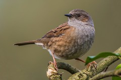 Dunnock (Prunella modularis) (JordanNaturePht) Tags: 200500mm d7200 nikon wildlife nature birder birding birds bird dunnock