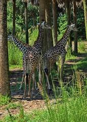 Giraffes In The Shade (janedoe.notts) Tags: animal animalkingdom disney giraffe nature park trees