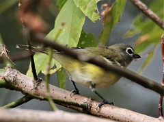 Blue-headed Vireo (Vireo solitarius solitarius) 10-13-2019 Woodmont-Sidling Hill WMA--Riser Road, WashingtonCo. MD 1 (Birder20714) Tags: birds maryland vireos vireonidae vireo solitarius