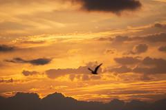 Volando hacia las nubes ígneas (dorieo21) Tags: sunset exquisitesunsets atardecer ocaso pájaro bird oisseau uccello vogel himmel cielo ciel tramonto sky sonnenuntergang nube nuage nubes nuvola nuages nuvole nikon d7200 cloud clouds skyscape sunlight nwn