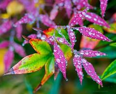 Purple rain (L@nce (ランス)) Tags: leaf leaves fall autumn macro micro canada victoria britishcolumbia beaconhill park rain raindrop raining nikon nikkor