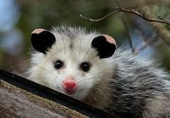 Cutie (Diane Marshman) Tags: opossum small animal black pink ears nose white gray fur fall autumn season pa pennsylvania state nature wildlife whiskers