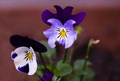 Flowers (ost_jean) Tags: fleurs flowers bloemen natuur nature nikon d5300 tamron sp 90mm f28 di v ostjean bokeh