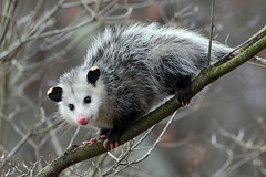 Climbing Down (Diane Marshman) Tags: opossum animal black pine ears nose feet gray white fur tail dogwood tree branch autumn fall season pa pennsylvania state nature whiskers