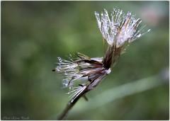 Seeds in the dew - 2 (Elanor82) Tags: canon eos 5d mark3 mrk3 mk3 seeds semi dew rugiada grass erba green verde prato flower fiore natura nature soffione tarassaco drops goccioline gocce acqua water