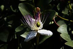 Caper Flower (Strocchi) Tags: caper cappero flower fiore violet macro canon eos6d 24105mm