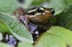 """Epipedobates Tricolor"" ( portrait ) (bugman11) Tags: epipedobatestricolor fauna flora frog frogs canon 100mm28lmacro waarland animal animals amphibians amphibian nature macro nederland thenetherlands water"