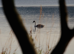 Swan (NanashiNoProfile) Tags: loch leven rspb heritage kinross scotland kinrossshire perthshire walk walking canon 700d autumn autumnal november