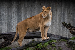 ZOO - Lions (5 of 12) (abenche) Tags: lion lions lioncubs cubs animals predator africa