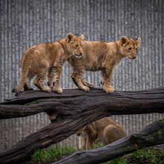 ZOO - Lions (4 of 12) (abenche) Tags: lion lions lioncubs cubs animals predator africa