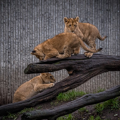 ZOO - Lions (3 of 12) (abenche) Tags: lion lions lioncubs cubs animals predator africa