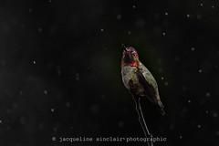In The Rain (Jacqueline Sinclair) Tags: hummingbird annas bird colour tiny low key rain raining rainy drops water wet perch twig vancouver