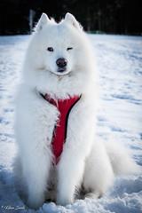 Je te surveille du coin de l'oeil (Kilian Sanlis) Tags: neige snow winter hiver la bresse vosges nature wild motherwood hiking randonnée chien dog animal samoyede samoyed nordique nordic