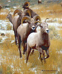 AND THE LADY TAKES THE LEAD ... (Aspenbreeze) Tags: bighornsheep birhorns sheep wildbighornsheep rams ewes runningbighornsheep rutseason wyomingwildlife coloradowildlife wildlife wildanimals nature natural country mountains rural beverlyzuerlein aspenbreeze moonandbackphotography