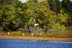 _U7A5181 (rpealit) Tags: scenery wildlife nature edwin b forsythe national refuge brigantine great egrets egret bird