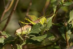 The Grasshopper (Ken Krach Photography) Tags: assateagueislandnationalseashore grasshopper
