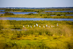 _U7A5263 (rpealit) Tags: scenery wildlife nature edwin b forsythe national refuge brigantine egrets bird