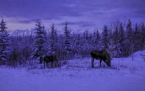 Moose visitors