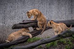 ZOO - Lions (2 of 12) (abenche) Tags: lion lions lioncubs cubs animals predator africa