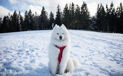Surveiller du coin de l'oeil (Kilian Sanlis) Tags: neige snow winter hiver la bresse vosges nature wild motherwood hiking randonnée chien dog animal samoyede samoyed nordique nordic