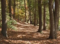 A blanket of leaves... (Jane Lazarz Nature Photography) Tags: walkingnewengland janelazarz massachusetts fallinnewengland nikonp900 nikon massachusettsautumn autumn newenglandcountryside westernmassachusetts nikonnature autumninnewengland stanleypark westfieldmassachusetts trails woods trailinthewoods