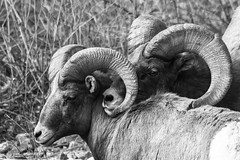 Keep Your Friends Close and Your Enemies Closer (GalaxyFan (Bighorn Photography)) Tags: oviscanadensis oviscanadensiscolorado bighornsheep bighornsheeprut bighornram ram rams blackandwhite blackandwhitephotography wildlife wildlifephotography wildanimal colorado coloradowildlife coloradophotography coloradowildlifephotography coloradophotographers watertoncanyon watertoncanyontrail watertoncanyonwildlife waterton canon7d canon canonextreme canonusa canongallery canon100400mmf4556isl 7dmarkii eos7d eos canoneos7dmarkii canoneos7d fotosbyduane