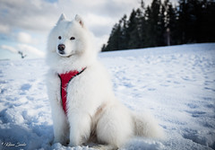 Blizzard (Kilian Sanlis) Tags: neige snow winter hiver la bresse vosges nature wild motherwood hiking randonnée chien dog animal samoyede samoyed nordique nordic fabuleuse