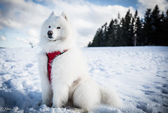Blizzard heureux de retrouver la neige (Kilian Sanlis) Tags: neige snow winter hiver la bresse vosges nature wild motherwood hiking randonnée chien dog animal samoyede samoyed nordique nordic
