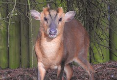 Muntjac Deer (Muntiacus reevesi) (Nick Dobbs) Tags: muntjac deer muntiacus reevesi mammal thetford