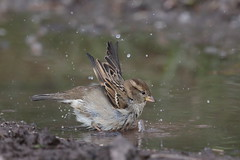 Bath time at Grey Lake (Robin M Morrison) Tags: house sparrow puddle rspbgreylake
