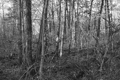Autumn Forest (Modkuse) Tags: blackandwhite bw nature monochrome forest woods acros acrossimulation fujifilmxt2acrossimulation xt2acros art natural artistic fineart fujifilm photoart fujinon nopostprocessing fineartphotography artisticphotography natureart artphotography sooc straightoutofcamera xt2 xf1855mmf284rlmois fujifilmxt2 trees treescape fujinonxf1855mmf284rlmois intimatelandscape