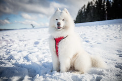 Blizzard heureux de retrouver la neige (Kilian Sanlis) Tags: neige snow winter hiver la bresse vosges nature wild motherwood hiking randonnée chien dog animal samoyede samoyed nordique nordic fabuleuse