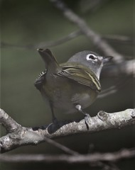 Blue-headed Vireo (Vireo solitarius solitarius) 10-18-2019 Assateague I. NS--Bayside Campground, Worcester Co. MD 2 (Birder20714) Tags: birds maryland vireos vireonidae vireo solitarius