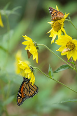 A flower for all! (Billtacular) Tags: butterfly insect butterflies lepidoptera autumn fall nature outdoors newjersey wildlife nj insects monarch migration insecta