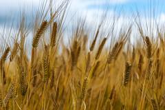 Malt Barley (Bracus Triticum) Tags: malt barley アルバータ州 alberta canada カナダ 8月 八月 葉月 hachigatsu hazuki leafmonth 2019 reiwa summer august