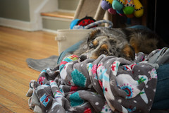 Day Dreaming **Explored** (flashfix) Tags: november142019 2019inphotos flashfix flashfixphotography ottawa ontario canada nikond7100 40mm sock dog canine animal pet austrailanshepherd triaustrailanshepherd bluemerle tricolour heterochromia familytime portrait bed lazy