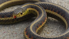 Thamnophis sirtalis (jcook83) Tags: snakes