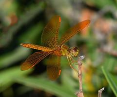 Mexican Amberwing, Perithemis intensa (Dave Beaudette) Tags: dragonflies odonata mexicanamberwing perithemisintensa reidpark tucson pimacounty arizona