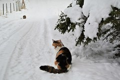 """ waiting for a friend "" ...... (KvikneFoto) Tags: nikon1j2 katt cat åsta elvis snø snow vinter winter bokeh"