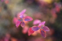 ordinary miracles (°andre²a°) Tags: canon canoneosr 35mm closeup macro leaf nature outside fall foliage autumn bokeh blur pink green purple colorful
