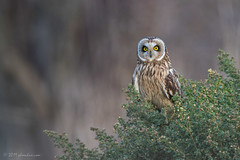 Short-eared Owl (mallardg500) Tags: owls phoochan raptors shorelinepark shortearedow wildfauna mallardg500 phoochancom
