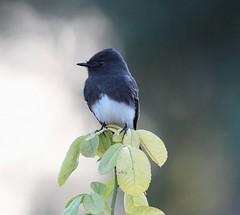 Black Phoebe, Sayornis nigricans (Dave Beaudette) Tags: birds blackphoebe sayornisnigricans reidpark tucson pimacounty arizona