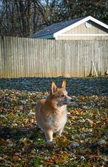 Nova (Chad Baxter) Tags: nova pembroke welsh corgi chicago fall colors cold orange yellow green brown nikon d850 70200 f4 g cute pets adorable fluffy dog dogs