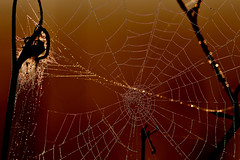 web (luporosso) Tags: natura nature naturaleza naturalmente nikon nikond500 nikonitalia ragnatela rugiada spider spiderweb